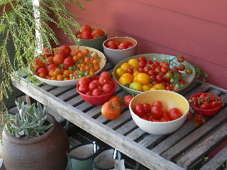 Ripe tomatoes for tasting