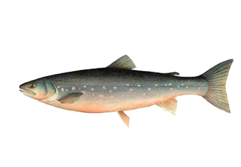 arctic char illustration From Monterey Bay Aquaraium